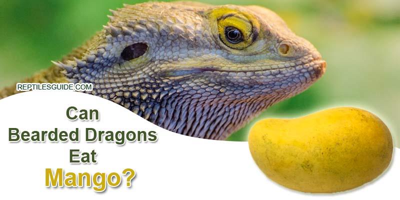 Can Bearded Dragons Eat Mango