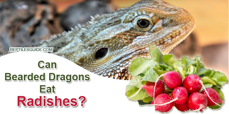Can Bearded Dragons Eat Radishes