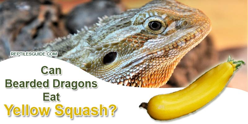Can Bearded Dragons Eat Yellow Squash
