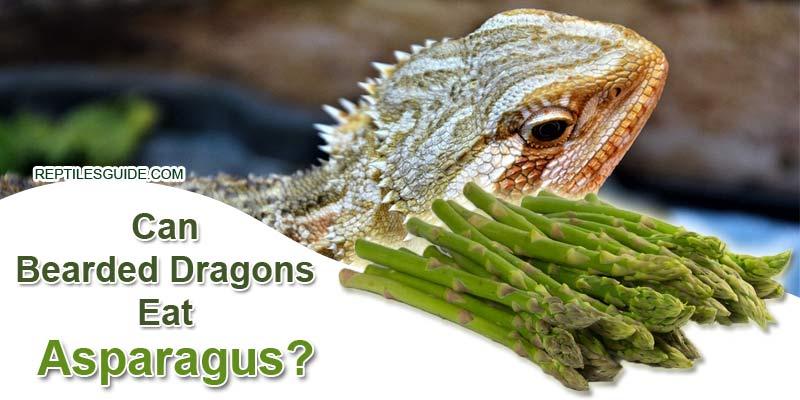 Can Bearded Dragons Eat Asparagus