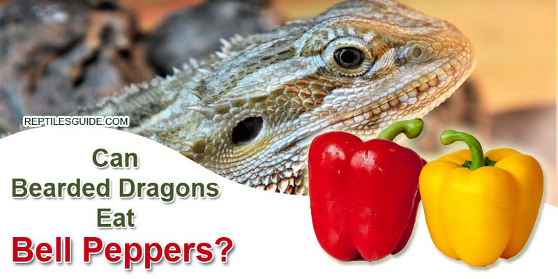 Can Bearded Dragons Eat Bell Peppers