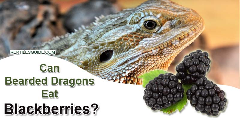 Can Bearded Dragons Eat Blackberries