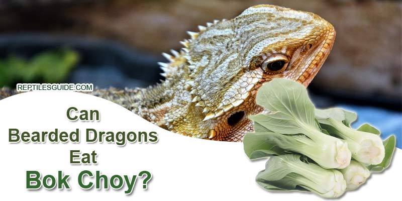 Can Bearded Dragons Eat Bok Choy