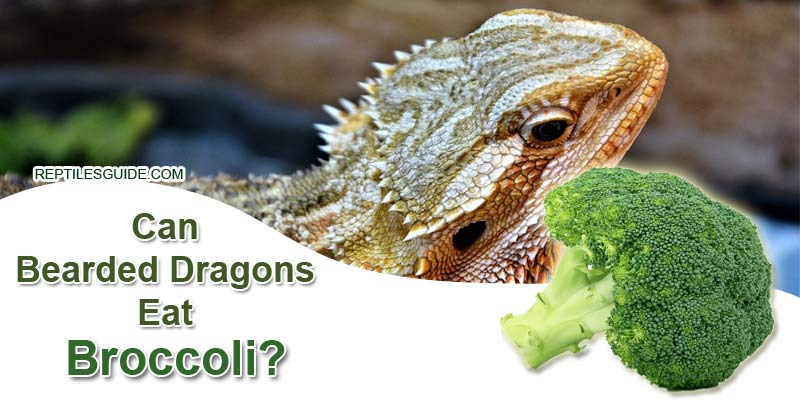 Can Bearded Dragons Eat Broccoli