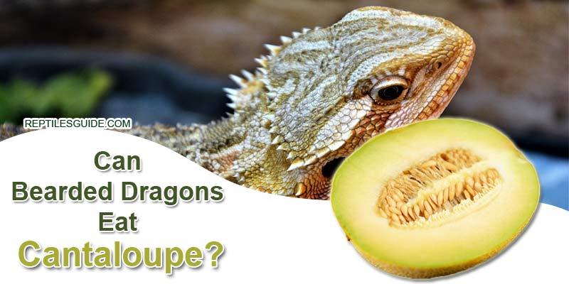 Can Bearded Dragons Eat Cantaloupe