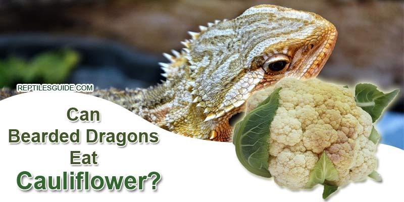 Can Bearded Dragons Eat Cauliflower