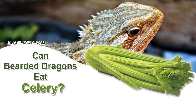 Can Bearded Dragons Eat Celery