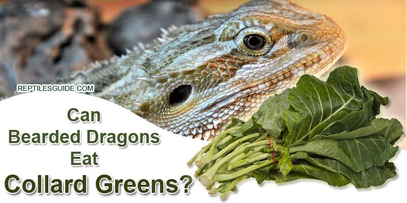 Can Bearded Dragons Eat Collard Greens