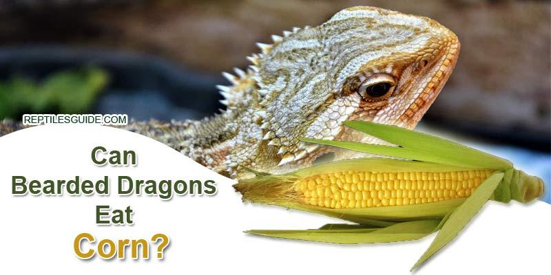 Can Bearded Dragons Eat Corn