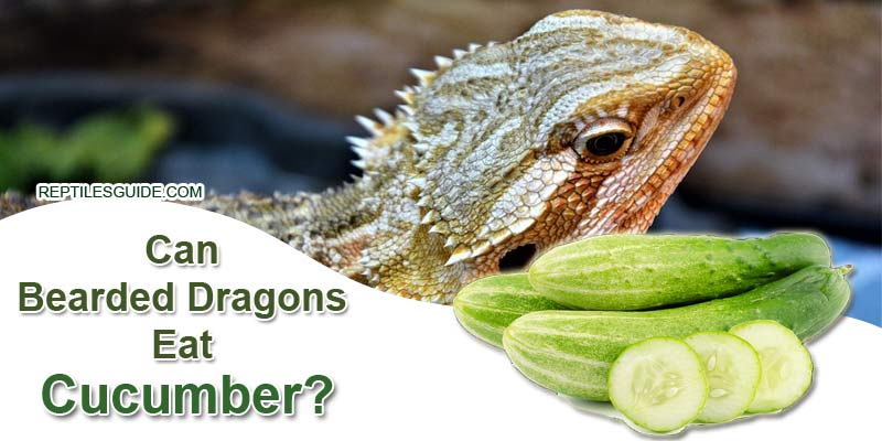 Can Bearded Dragons Eat Cucumber