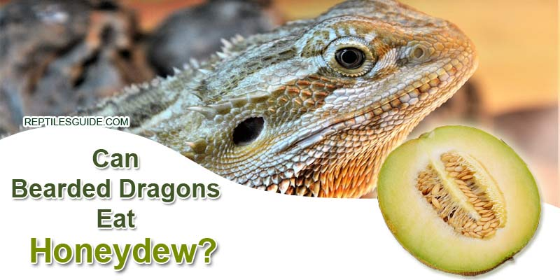 Can Bearded Dragons Eat Honeydew