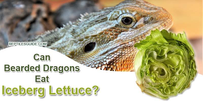 Can Bearded Dragons Eat Iceberg Lettuce