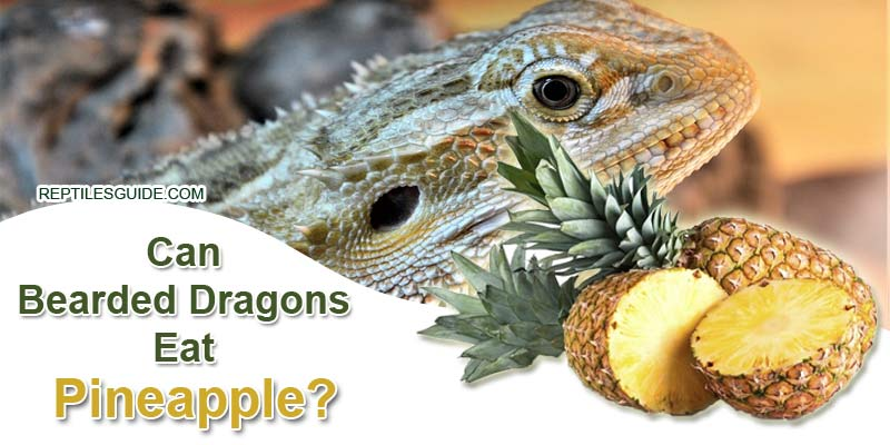 Can Bearded Dragons Eat Pineapple