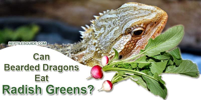 Can Bearded Dragons Eat Radish Greens